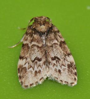 Small eye Magoo moth Halone sp aff interspersa Lithosiinae Arctiidae Noctuoidea Mandalay rainforest Airlie Beach P1022782