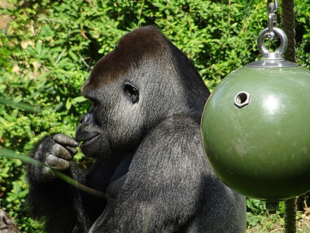 Gorillas_Aug19_2b_SANGO_zufriedenBeimFuttern_PROFIL_Futterball_Mi_14h15_190821