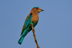 Indian Roller looking for breakfast