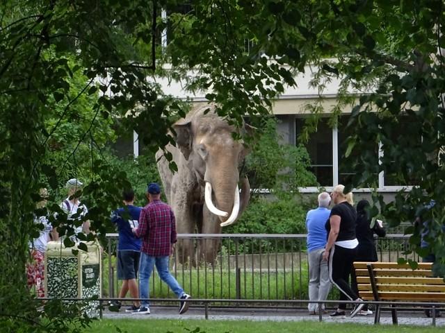 Elefanten_Aug19_8a_VIKTOR_derElefantenBullenBEAU_seitLangemMalWieder_HI_Mi_12h30_190821