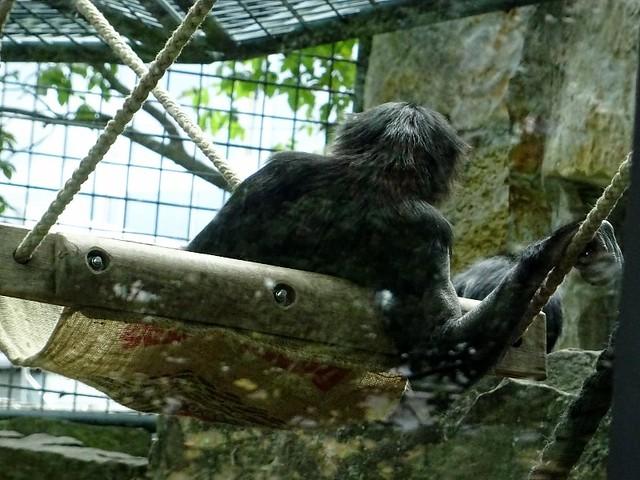 Bonobos_Aug19_1_laessigAufSchaukel_Mi_13h15_190821
