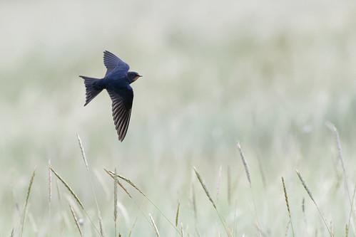 Swallow Lincolnshire 16-08-2019 Ian W