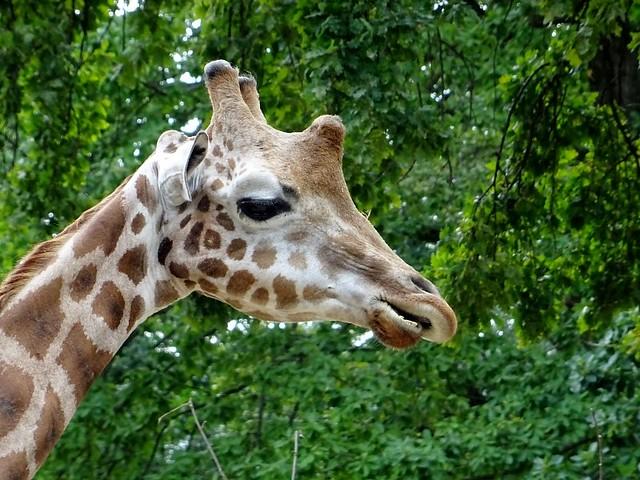 Giraffen_Aug19_4_KOPF_Profil_Mi_12h20_190821