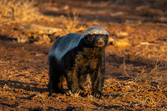 honey badger - Kruger NP - South Africa