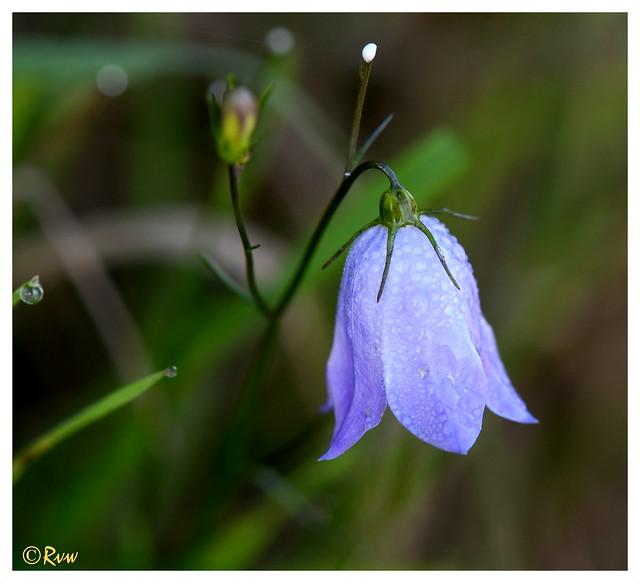 Campanula rotundifolia (explore 22/08/19)