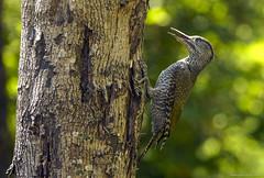 picchio verde giovane, young green woodpecker ..
