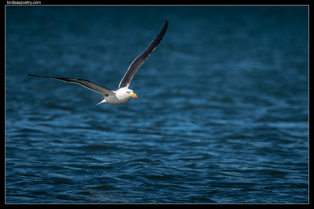 Pacific Gull: White on Blue