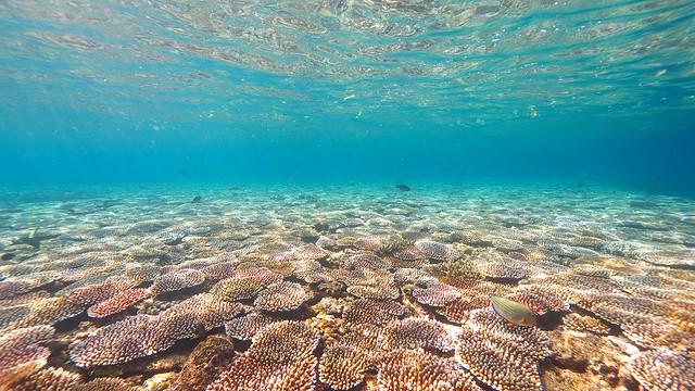 サンゴ絨毯、ここ、「ヤバイ」くらい美しいですよ。