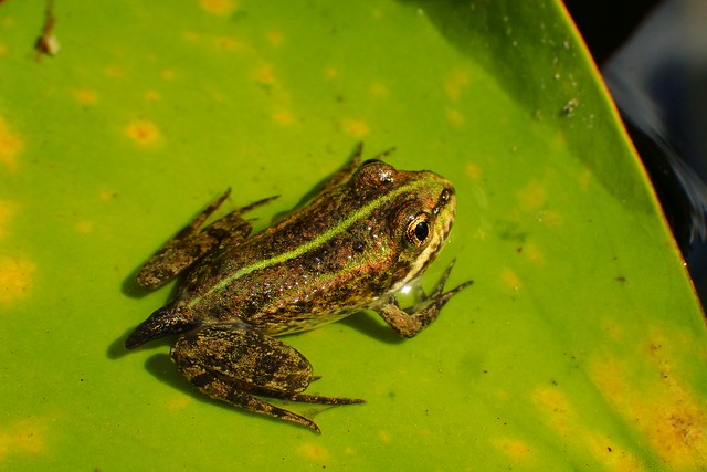 Almost completed metamorphosis from tadpole to frog