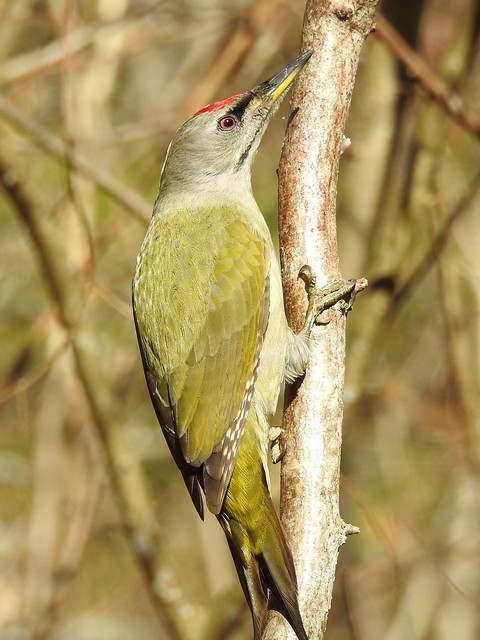 Grey-headed Woodpecker ♂ (Picus canus)