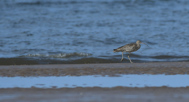 Curlew taking a walk on Titchwell beach.