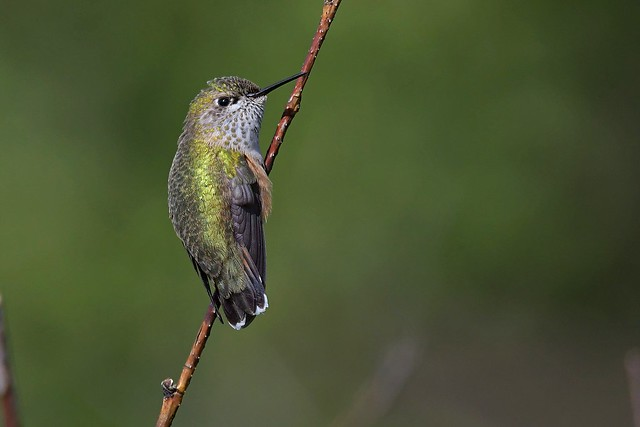 Calliope Hummingbird (Selasphorus calliope) immature male