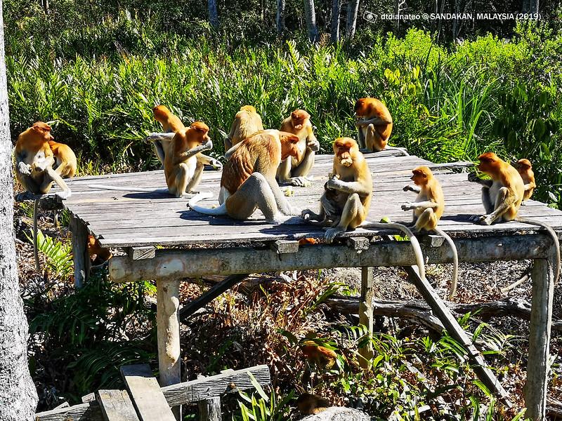 2019 Sandakan Labuk Bay Proboscis Monkey Sanctuary 1
