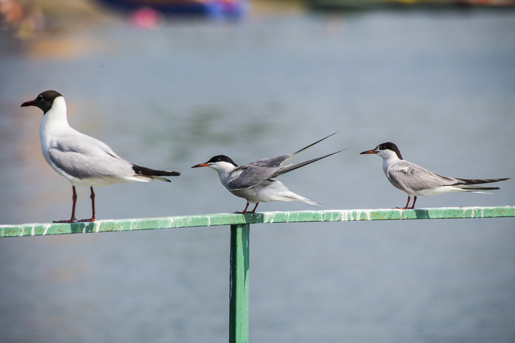 Крачки и чайка