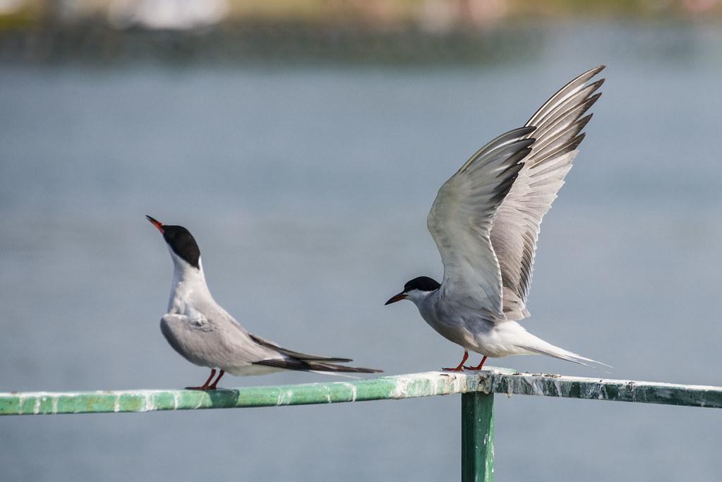 Речные крачки на Красном озере