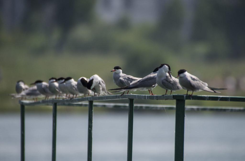 Крачки на Красном озере.