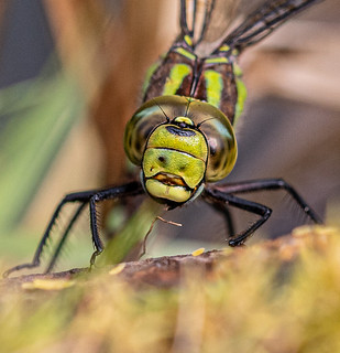Portrait of a Southern Hawker (female)