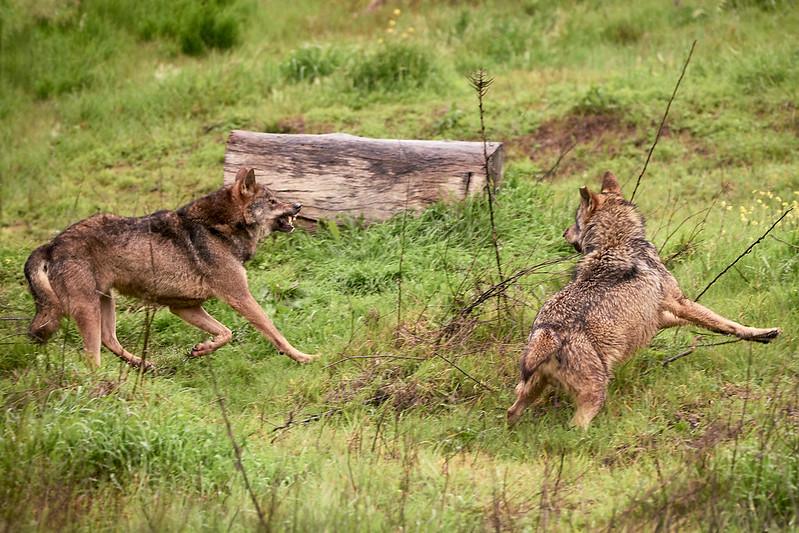Lobo ibérico en Fauna y flora48599979867_bc079e03bc_c