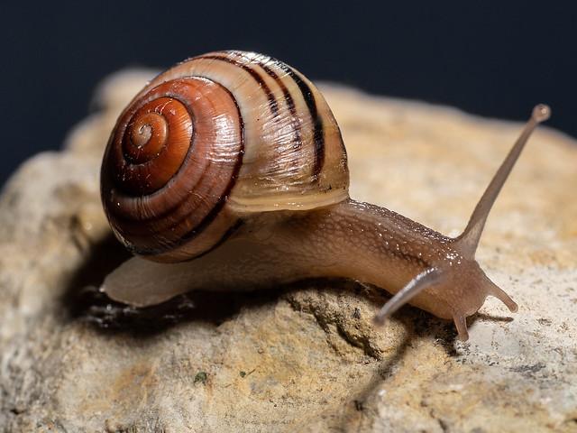 White Lipped Snail on Light Coloured Stone