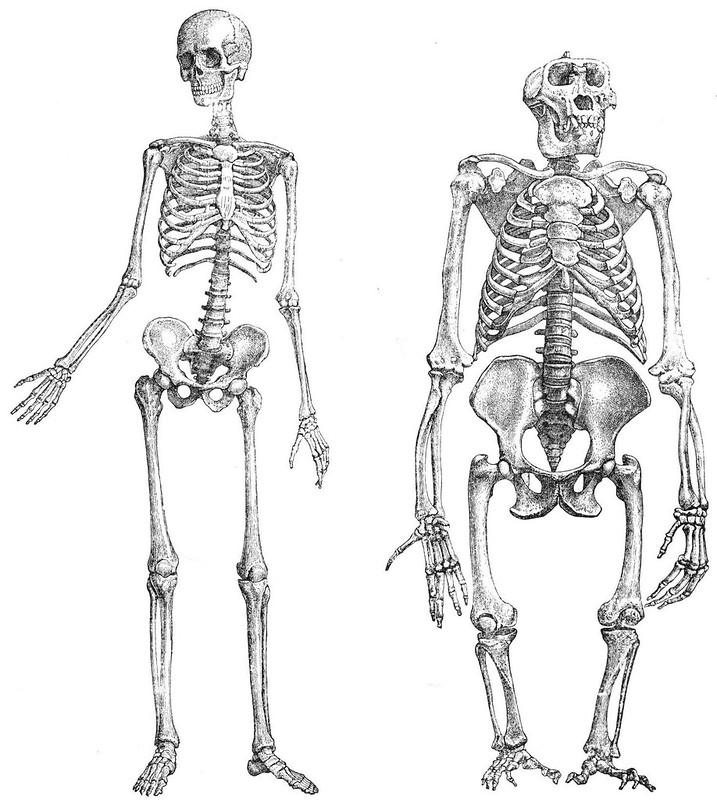scheletro umano e di gorilla