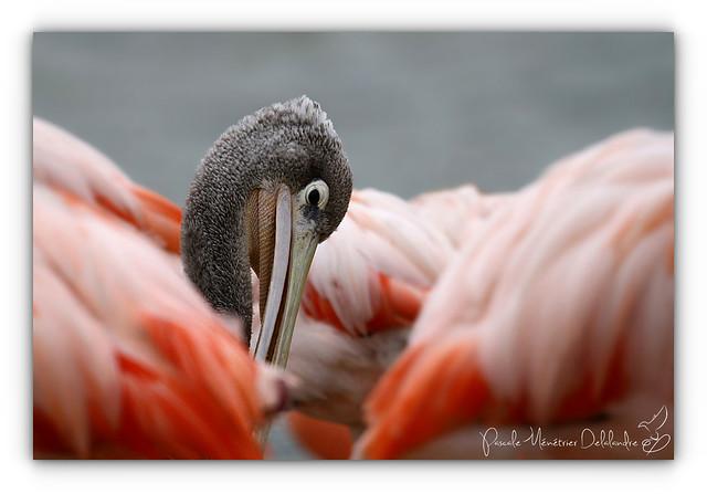 Bain de Flamants rose pour un Pélican gris