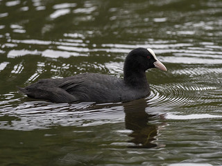 Coot | by royd63uk