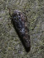 Allygus cf mixtus  cicadellidae
