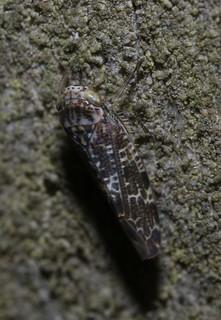 cf Allygus cicadellidae