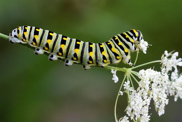 811_4596.jpg=080419T2 Balack Swallowtail Caterpillar