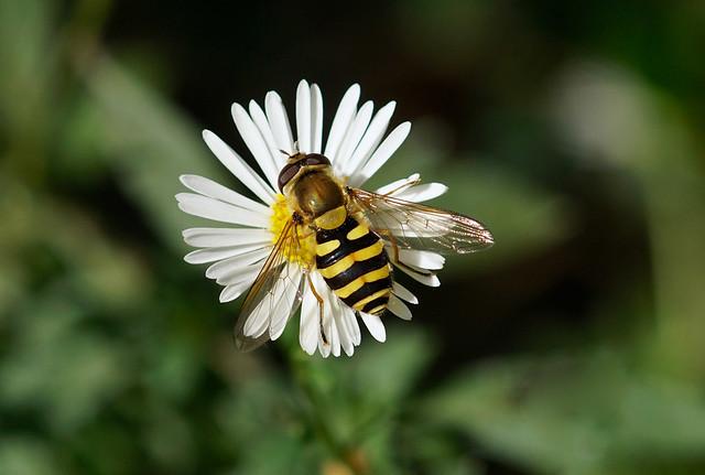Hoverfly --- Syrphus ribesii
