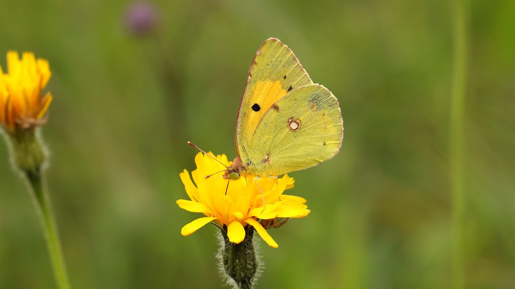 Clouded yellow ~ Colias croceus