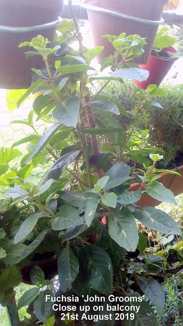 Fuchsia 'John Grooms' close up on balcony 21st August 2019