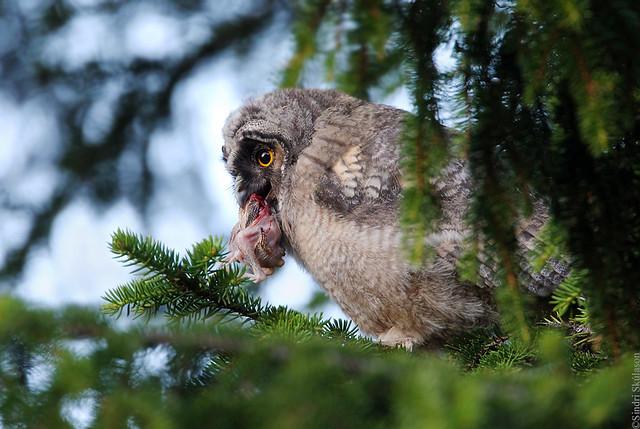 Long-eared Owl (Eyrugla) 137