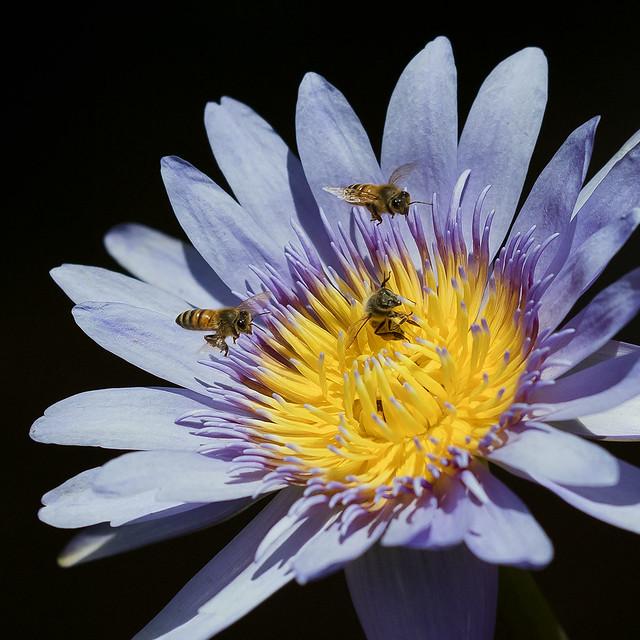 Honey Bee gathering pollen from Water Lily flower, Fairchild Tropical Botanic Garden.