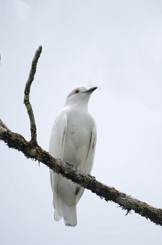 Black-tipped cotinga Carpodectes hopkei Cotinga blanca