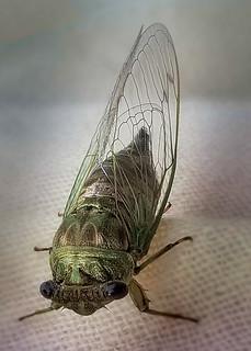 Animal Portraits - Cicada