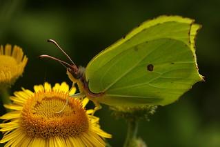 Brimstone Butterfly on common Fleabane at Whiteley Woods, Hampshire, UK