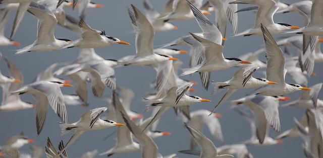 Tern Sunrise