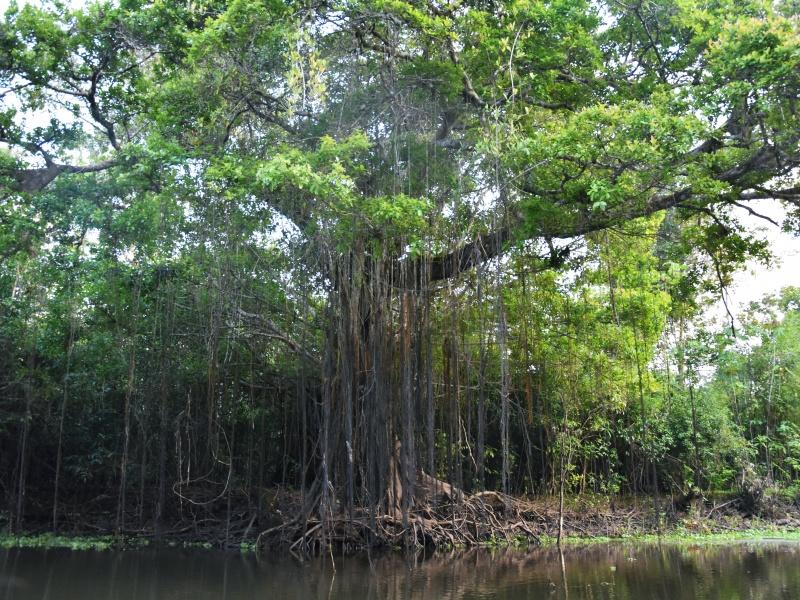 Amazon trees