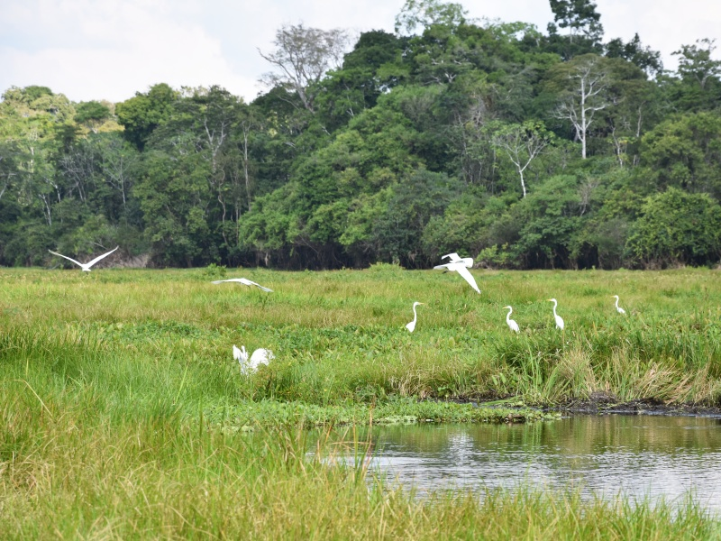 Egrets in the Amazon