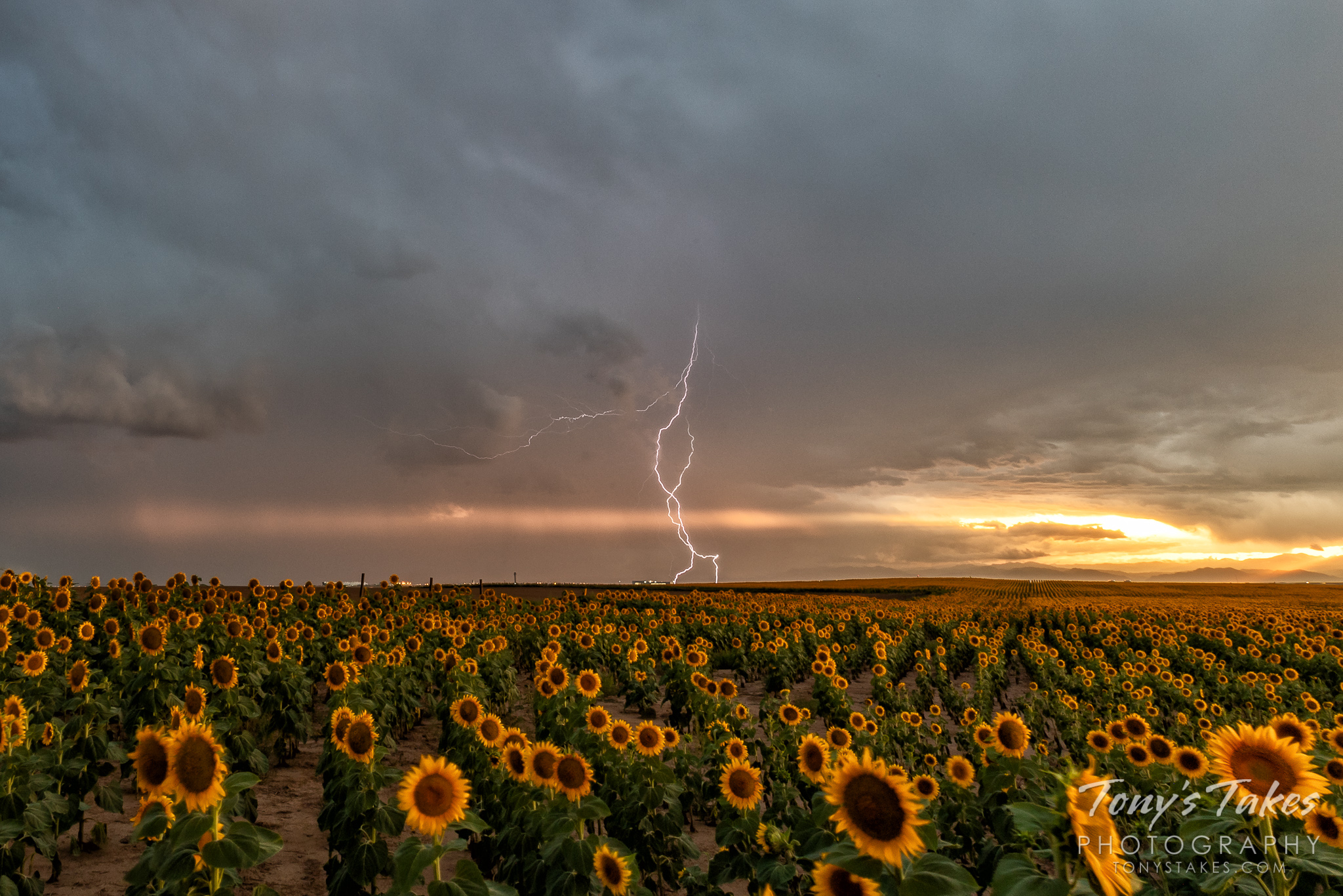 Lightning pops over a field of sunflowers east of Denver, Colorado. (© Tony's Takes)