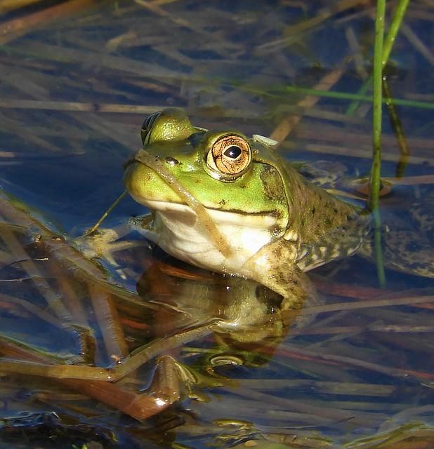 American Bullfrog at Rockville Hills