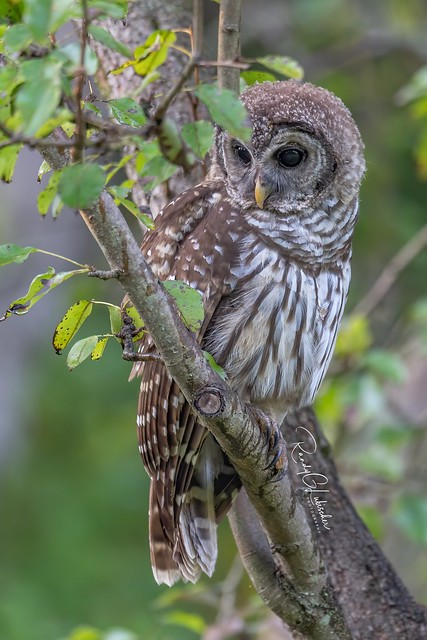 Barred Owl - Strix varia | 2019 - 24
