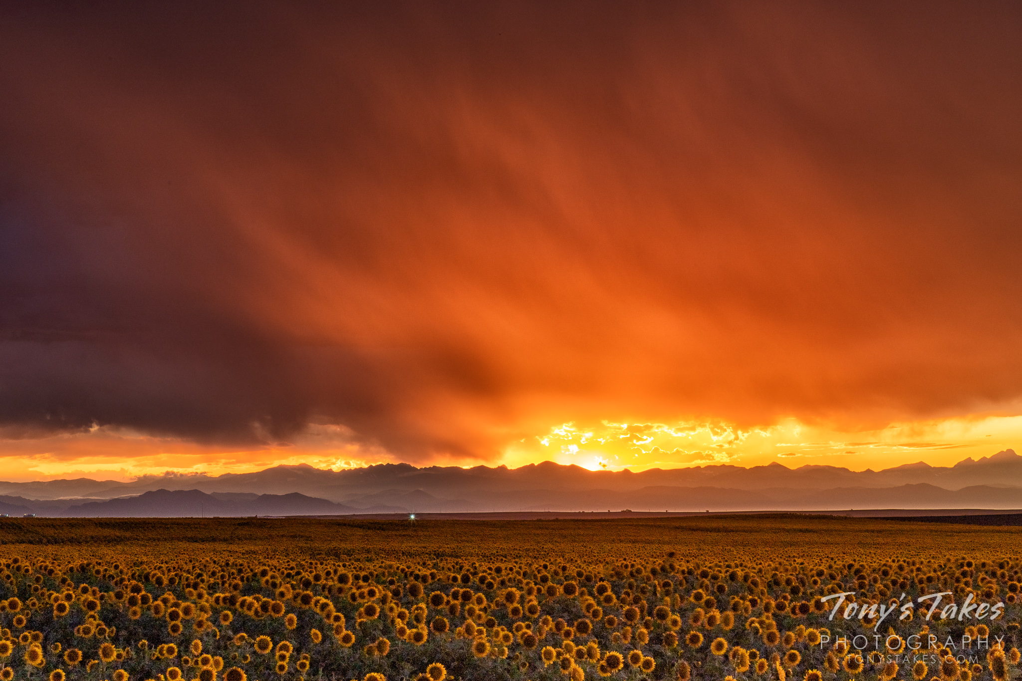 Blooming sunflowers lie below a gorgeous, stormy sunset with the Rocky Mountains in the distance. (© Tony's Takes)