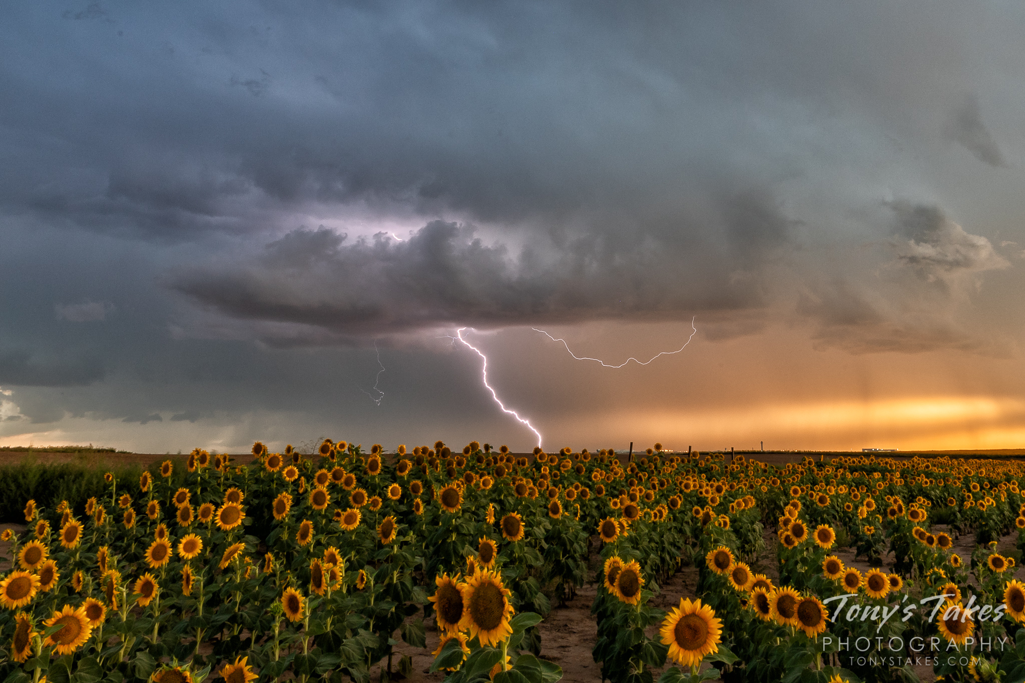 Shocking sunflowers