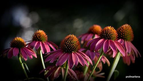 DSC_0763 my fragrant echinacea purpurea