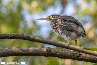 Immature Little Green Heron From Below
