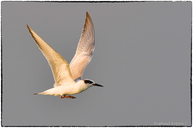 Froster's Tern