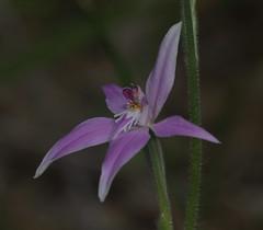 Caladenia latifolia,Pink Fairy Orchid.