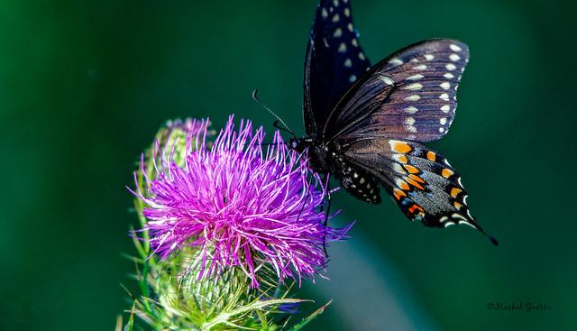 Le papillon du céleri -  Black swallowtail - Papilio polyxenes-